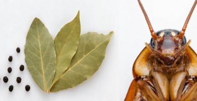 EL laurel es un remedio casero para repeler a las cucarachas