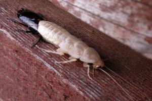 La cucaracha se ve blanca porque esta mudando la piel