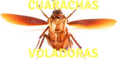Las cucarachas pueden volar si las circunstancias las obligan