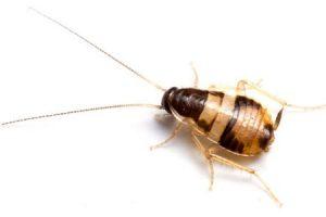 cucaracha de banda marrón o cucaracha de muebles