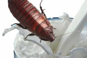 La leche de cucaracha es el súper alimento del futuro
