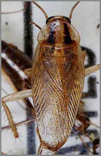 La cucaracha alemana es la más común de todas