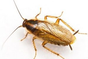 Brown Band Cockroach