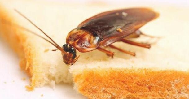 Cucaracha probando un trozo de pan envenenado