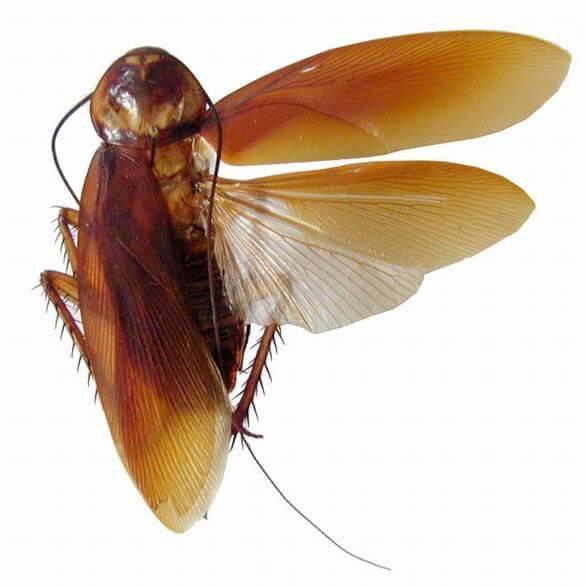 Las cucarachas voladoras son más difíciles de acceder que las normales