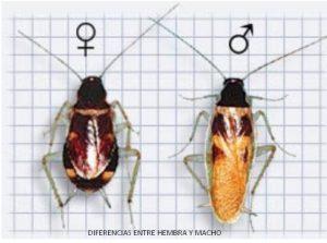 La cucaracha de banda marrón tiene una longitud de 10 a 12.5 mm