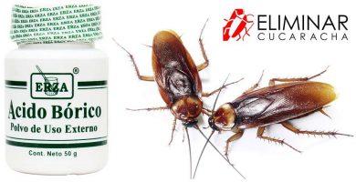 El ácido bórico debe extenderse por los lugares de paso de las cucarachas