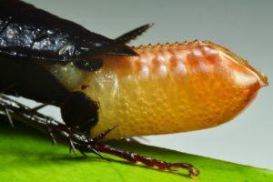 Cucarachas expulasando