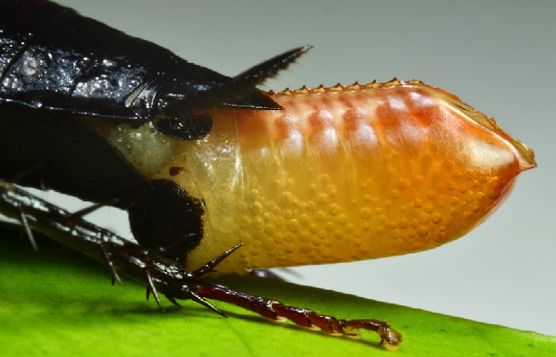 Cucarachas expulsando una ooteca