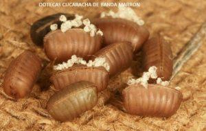 La cucaracha de banda marrón coloca 5-16 ootecas