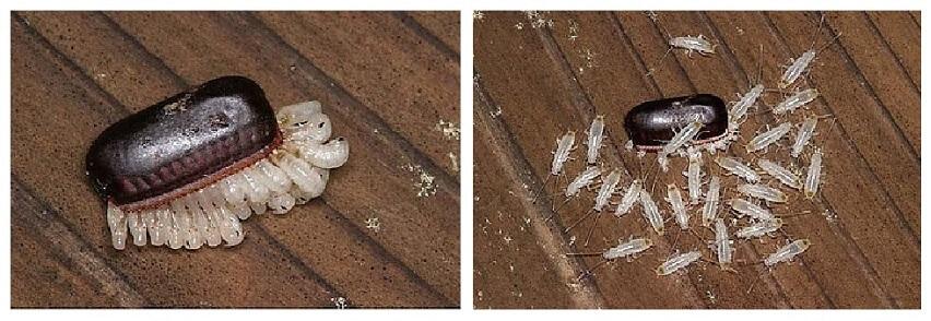 Saco de huevos de cucaracha alemana eclosionando