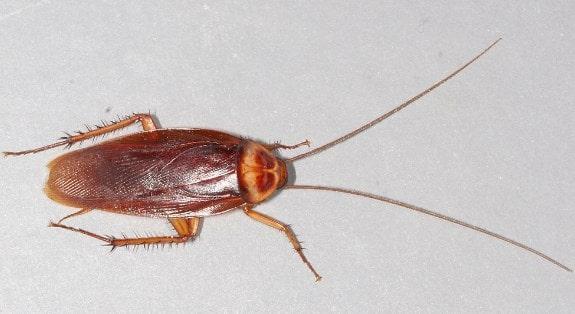 La cucaracha americana es un insecto que vive al aire libre