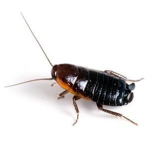 La cucaracha oriental es también conocida como cucaracha de agua o cucaracha negra