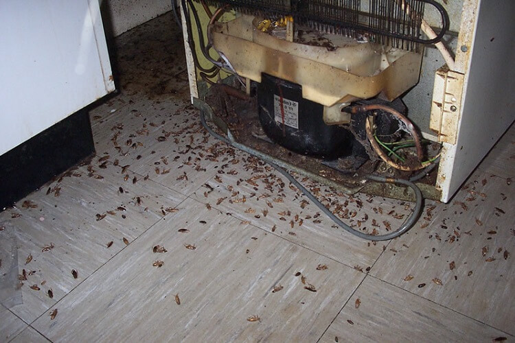 Plaga de cucarachas escondidas detrás de la nevera