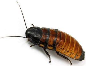 La cucaracha gigante de madagascar no está considerada una plaga