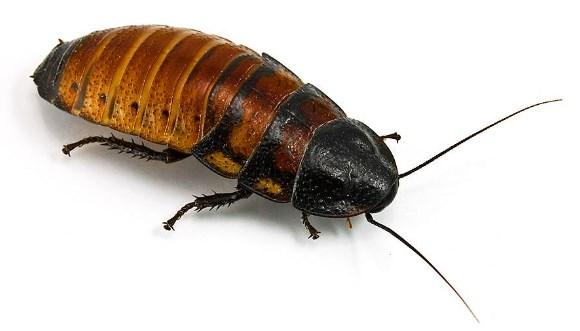 La cucaracha gigante de Madagascar tiene una característica interesante
