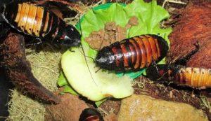 la cucaracha gigante de Madagascar se alimentan de hojas caídas y frutos de árboles