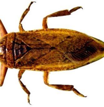 La cucaracha de agua se encuentra en países tropicales