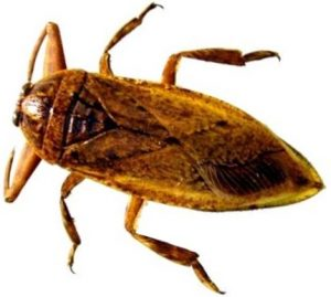 La cucaracha de agua, Lethocerus indicus