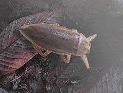 la cucaracha de agua habita en cualquier masa de agua