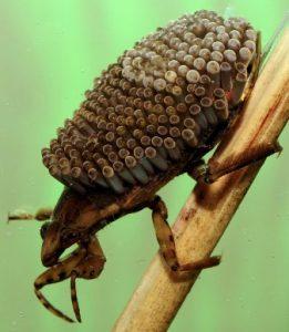 las cucarachas de agua presentan en su parte posterior muchos huevos grandes
