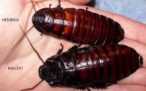 Características de la cucaracha gigante de Madagascar