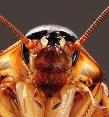 ¿Cómo ocurre una picadura de cucaracha?