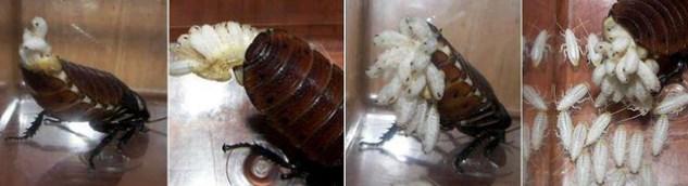 Reproducción de la cucaracha gigante de madagascar